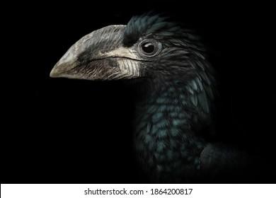 Portrait hornbill on dark background. Detail face bird. Close-up hornbill. Poster bird. Photo with place for text.