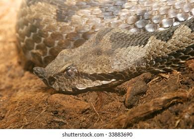 Portrait of Horned Gaboon Vipe