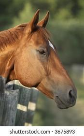 Portrait of horse; Horse head image close