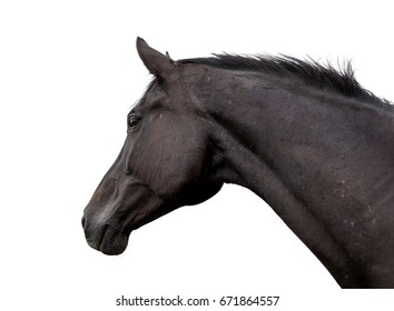 Portrait of a horse on a white background