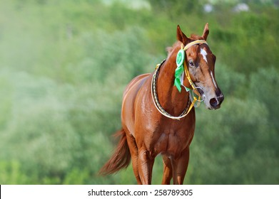Portrait of a horse winner in the competition with a beautiful rosette on the bridle. Thoroughbred horse won the race.The animal on the background of bright green.