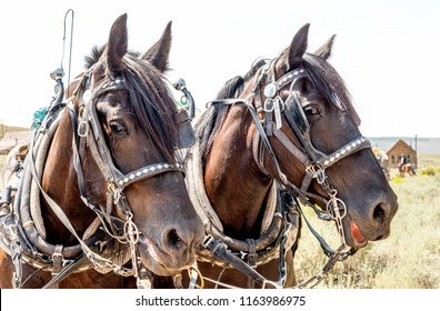 Portrait of horses in western bridle gear and harness pulling a wagon