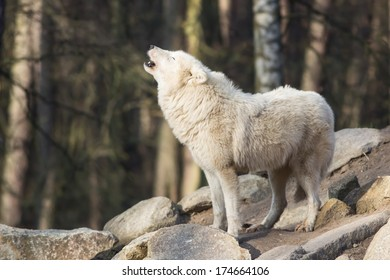 portrait of a  howling white wolf standing on grey rocks in a forest
