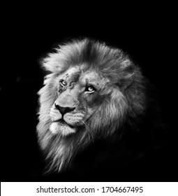 Portrait of huge beautiful African lion against black background