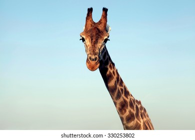 A portrait of a huge giraffe neck and face on sky background. Horizontal image.