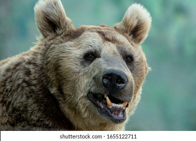 Portrait of Huge Grizzly Bear smiling to Photographer in the Forest, funny wildlife photo