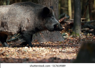 Portrait of a huge wild boar in the forest to rot walking on autumn leaves