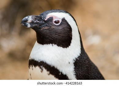 Portrait of a Humboldt penguin