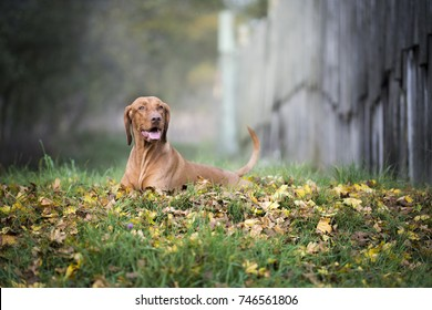 Portrait of hungarian hound dog in autumn