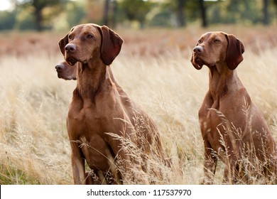 Portrait of Hungarian Vizsla dogs sitting in long fall grass