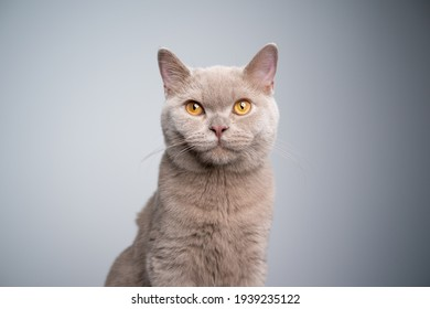 portrait of a hungry 6 month old lilac british shorthair kitten looking at camera on gray background with copy space