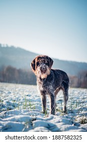 Portrait of a hunting dog,Rough-coated Bohemian Pointer, in a snowy landscape with an interested and enthusiastic look. Cesky fousek is a czech breed.  Turquoise and Medium Slate Blue tones.