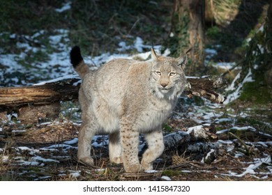 portrait of a hunting lynx in winter forest, Europe
