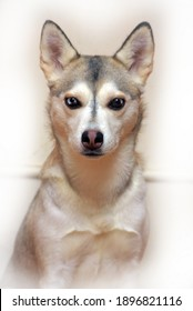 portrait of a husky with different eyes on a light background