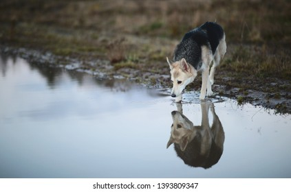 Portrait of husky dog drinks water from a puddle in a filed looking down. Yellow, green, grass and background . Copy space