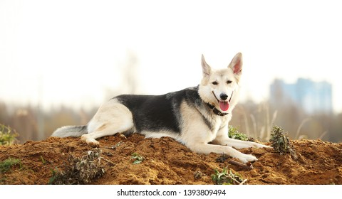 Portrait of husky dog lying in a filed looking aside. Yellow, green, grass and background . Copy space