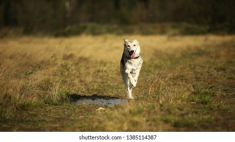 Portrait of husky dog running in a filed looking at camera. Yellow, green, grass and background . Copy space