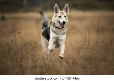 Portrait of husky dog running in a filed looking at camera. Yellow, grass background . Copy space