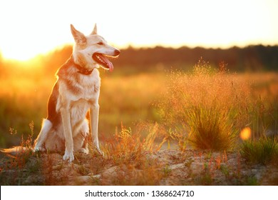 Portrait of husky dog sitting in a filed looking aside. Yellow, green, red grass and sunset background . Copy space