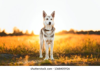 Portrait of husky dog standing in a filed looking at camera. Yellow, green, red grass and sunset background . Copy space