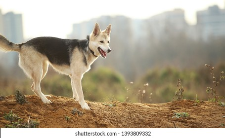 Portrait of husky dog standing in a filed looking aside. Yellow, green, grass and background . Copy space