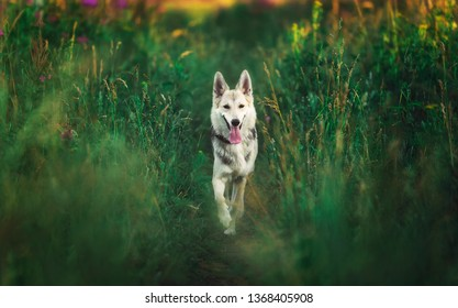 Portrait of husky dog standing on a green meadow looking aside. Green trees and grass background. Copy space