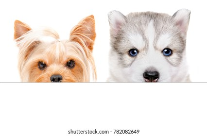 Portrait of a Husky puppy and  Yorkshire terrier peeking from behind a banner, isolated on white background