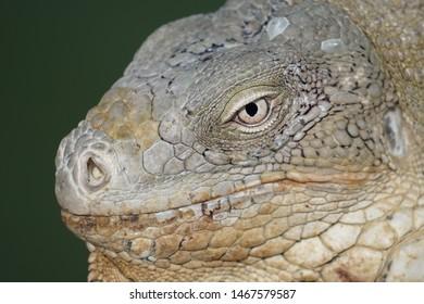 Portrait of iguana from Bonaire. Little dragon.