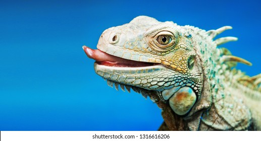 Portrait of iguana with tongue hanging out.  Iguana isolated on blue background