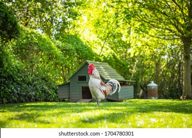 Portrait image of a large adult rooster seen outside his chicken house at the back of a large garden. The other hens, out of view of the camera, are kept free and for there tasty eggs.
