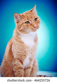Portrait Image Of A Red Haired Domestic Cat On A Blue Background