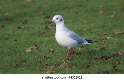 Portrait image of a wild Common Gull Seagull