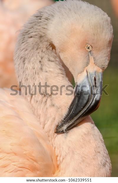 Portrait of immature flamingo