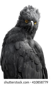 Portrait of an impressive Black-Hawk Eagle isolated, spizaetus tyrannus