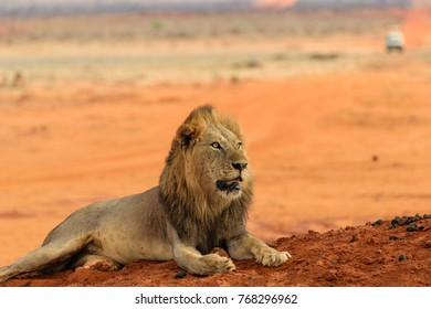 Portrait of an impressive lioan male lying on the ground on slope in the savannah. Attitude and face expression showing confidence and domination in the animal reign.