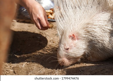 Portrait of Indian crested porcupine in captivity enjoying vegetables, porcupine holding and eating carrot, rodent with open mouth, Indian porcupine, Hystrix indica, funny eating animal