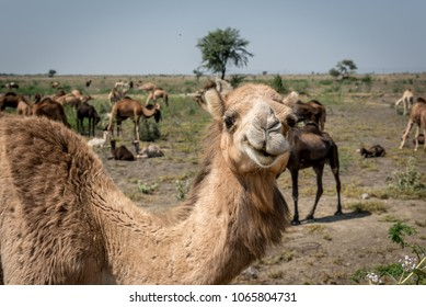 Portrait of an Indian Dromedary Camel Standing in Front of a Herd of Camels in the Thar Desert