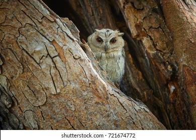 Portrait of  Indian scops owl, Otus bakkamoena, staring from tree hole directly at camera. Typical owl of dry indian forest. Scops Owl resting in tree cavity. Wilpattu, Sri Lanka.