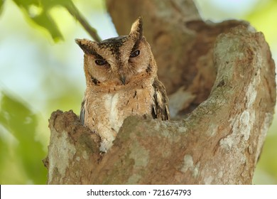 Portrait of  Indian scops owl, Otus bakkamoena, staring from tree cavity. Typical owl of dry srilankan forest. Scops owl in its typical environment. Wilpattu, Sri Lanka.