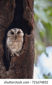 Portrait of  Indian scops owl, Otus bakkamoena, staring from tree hole. Typical owl of dry indian forest. Scops owl in its typical environment. Wilpattu, Sri Lanka.