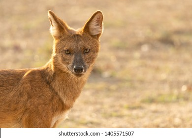 Portrait of an Indian wild dog or Dhole in Tadoba, India. Endangered species from snaring, habitat loss, human conflict, loss of prey and disease especially recently.