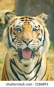 Portrait of an Indochinese tiger from Thailand