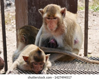 Portrait of infant Crab Eating Macaque Monkey (Macaca fascicularis) with mother at Monkey Temple (Phra Prang Sam Yot) in Lopburi, Thailand.