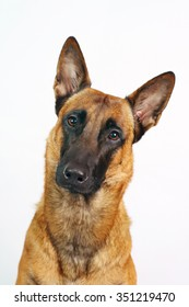 Portrait of an interested Belgian Shepherd dog Malinois on white background