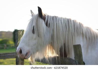 Portrait of Irish Cob horse.