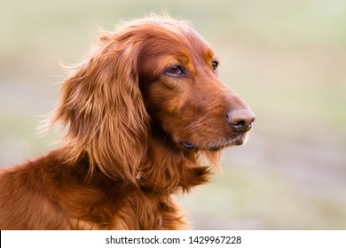 portrait of Irish setter on the walking in spring on blurred background
