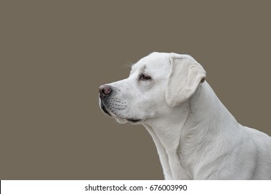 Portrait of isolated labrador retriever dog in front of background with copy space