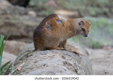 Portrait of an isolated red meerkat (yellow mongoose) sitting on a log at the zoo