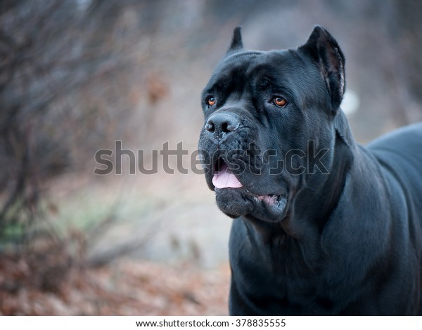 Portrait Italian Canecorso Dog Park Stock Photo Edit Now 378835555