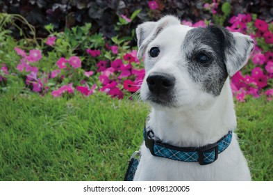 Portrait of a Jack Russell